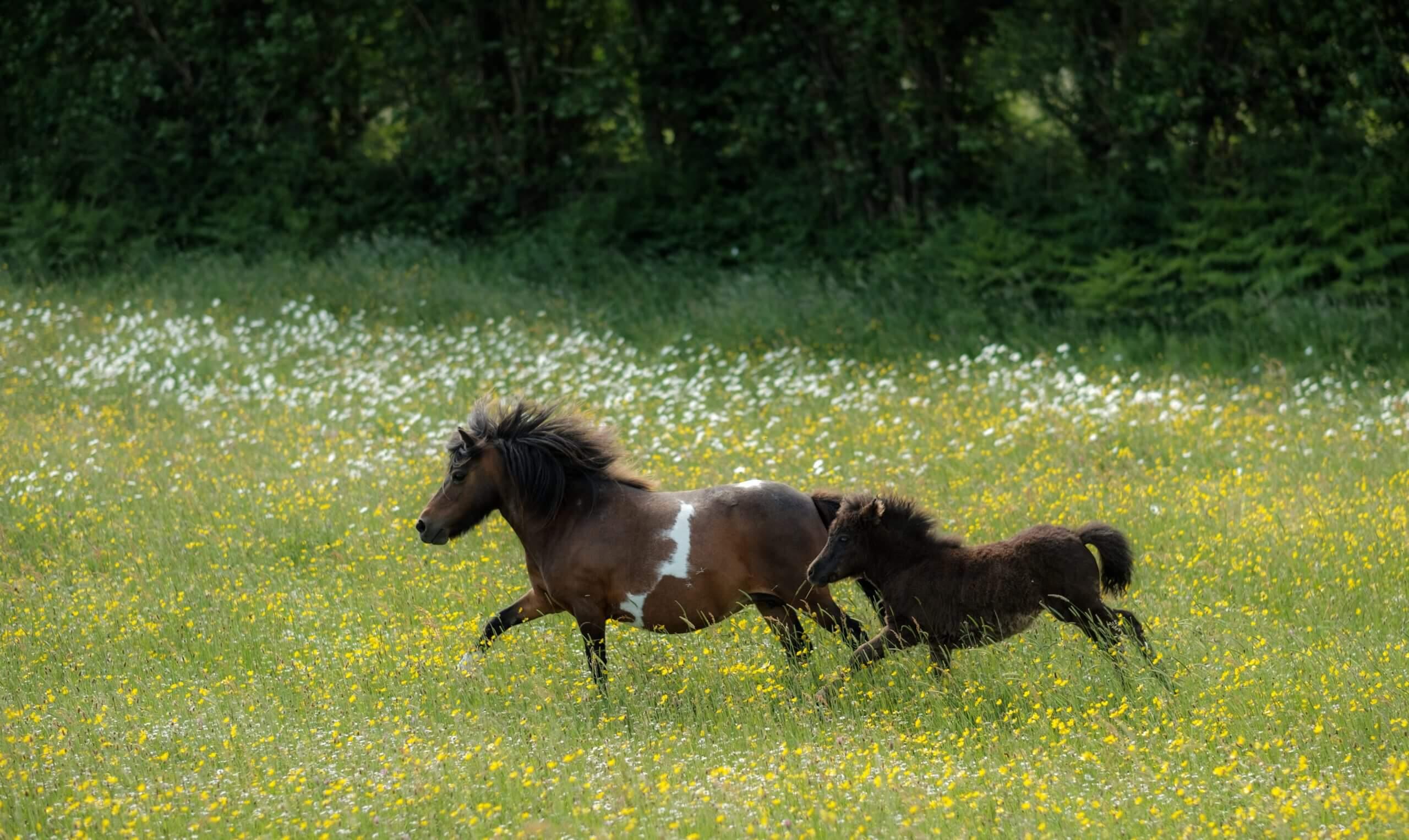 Irish Horses Galloping'